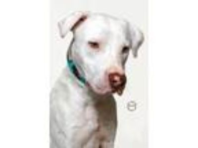 Adopt Jeter a White Labrador Retriever / Mixed dog in Hughesville, MD (25636712)