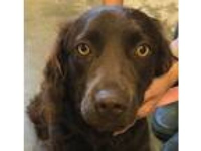 Adopt Lara a Brown/Chocolate Boykin Spaniel / Mixed dog in Gilbertsville