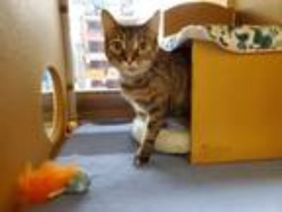 Adopt Nina a White Domestic Shorthair (short coat) cat in Manchester