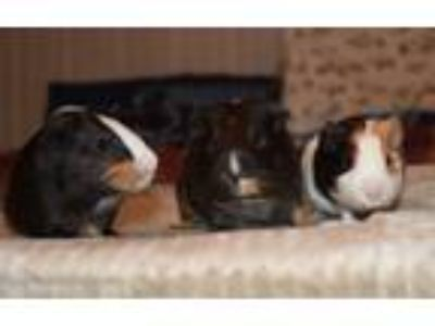Adopt Nova and Stefan a Guinea Pig (short coat) small animal in Pine Bush