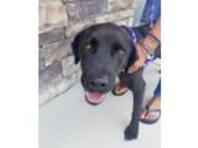 Adopt Spencer a Black Labrador Retriever / Mixed dog in Thomasville
