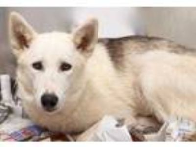 Adopt Jewel a White Shepherd (Unknown Type) / Mixed dog in South Elgin