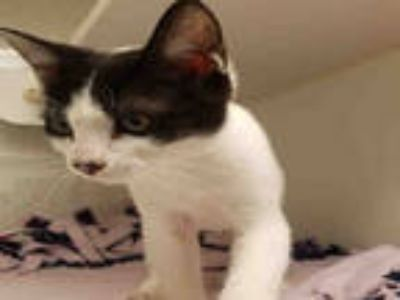 Adopt CARLIE a Black & White or Tuxedo Domestic Shorthair / Mixed (short coat)