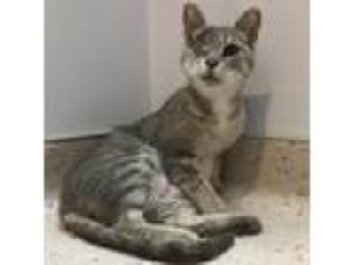 Adopt Ambroisa a Gray or Blue Domestic Shorthair / Domestic Shorthair / Mixed