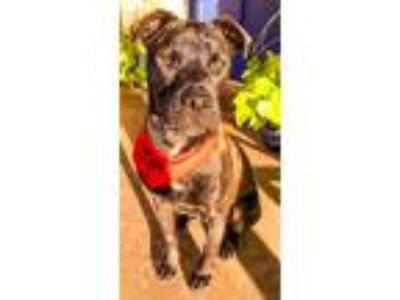 Adopt Knox a Brindle Pit Bull Terrier / Mixed dog in Norman, OK (24079685)
