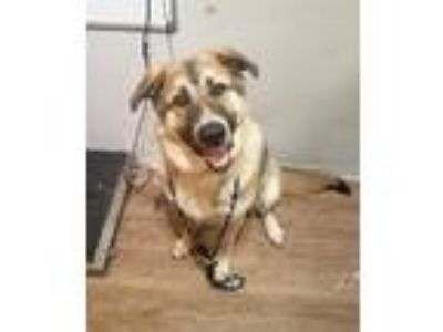 Adopt Odin a Great Pyrenees / Anatolian Shepherd / Mixed dog in Cleveland