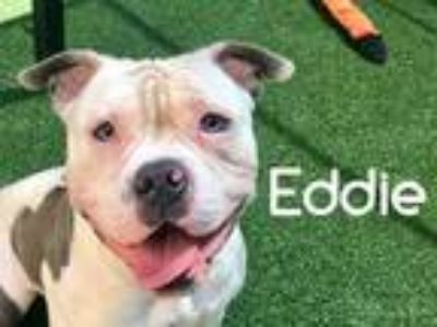Adopt Eddie a White American Pit Bull Terrier / Mixed dog in Lewisville