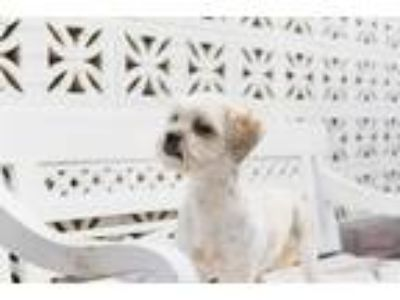 Adopt Snoopy a White - with Tan, Yellow or Fawn Poodle (Miniature) / Cocker