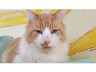 Adopt tigger a Domestic Longhair / Mixed (long coat) cat in St Helena