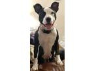 Adopt Rosie Posey a Black American Pit Bull Terrier / Mixed dog in Santa Fe