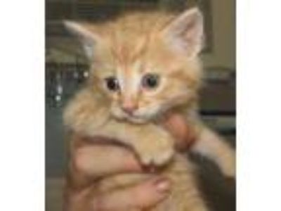 Adopt Seamus a Orange or Red Domestic Shorthair / Domestic Shorthair / Mixed cat