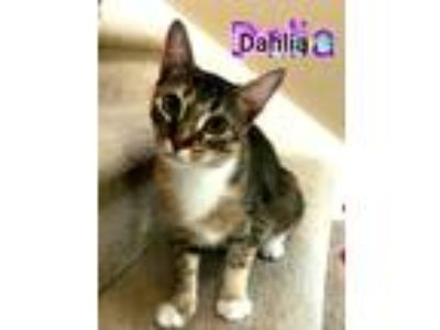 Adopt DAHLIA a Brown Tabby Domestic Shorthair (short coat) cat in Wilmington