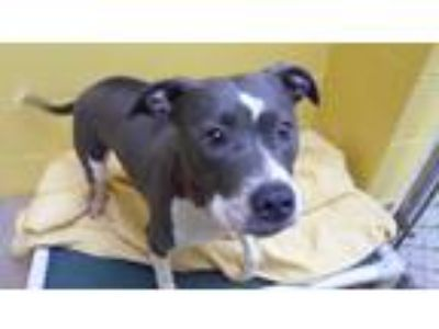 Adopt Delilah a White - with Gray or Silver American Pit Bull Terrier / Mixed