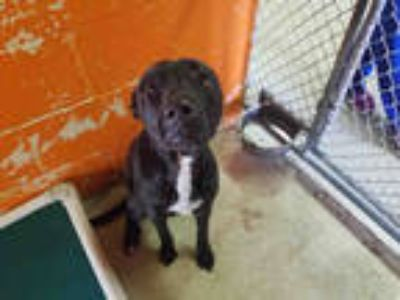 Adopt DIXIE a Black - with White American Pit Bull Terrier / Labrador Retriever