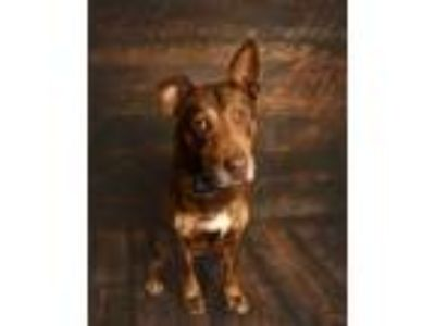 Adopt Chocolate a Brown/Chocolate Basset Hound / Labrador Retriever / Mixed dog