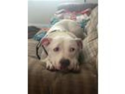 Adopt Chevy a White American Staffordshire Terrier / Mixed dog in Lombard