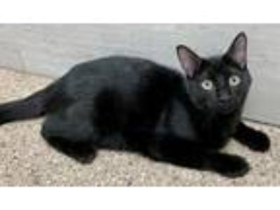 Adopt Biggie a Domestic Short Hair