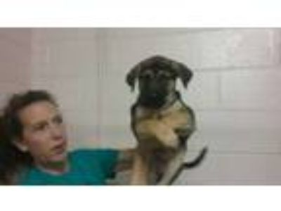Adopt Tamale a Labrador Retriever, Shepherd
