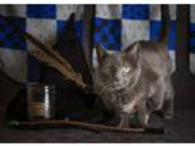 Adopt Mitty a Russian Blue