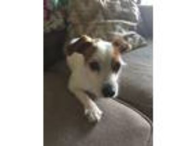 Adopt Penny a Jack Russell Terrier / Mixed dog in Poughkeepsie, NY (25645400)