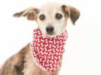 Adopt SISSY a Gray/Silver/Salt & Pepper - with Black Dachshund / Mixed dog in