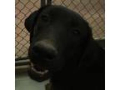 Adopt 85803 a Black Shepherd (Unknown Type) / Rottweiler dog in Las Cruces