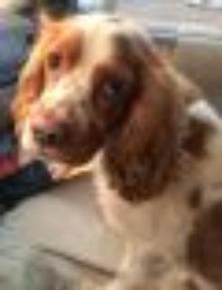 Loli Cocker Spaniel Dog