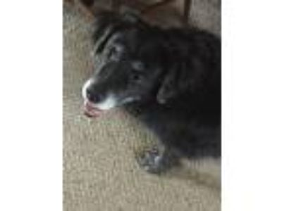 Adopt Dolce a Black Shepherd (Unknown Type) / Border Collie dog in Jamestown