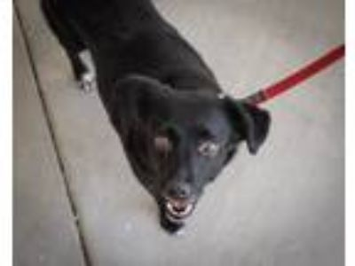 Adopt Bella-Mia a Black - with White Beagle / Spaniel (Unknown Type) / Mixed dog