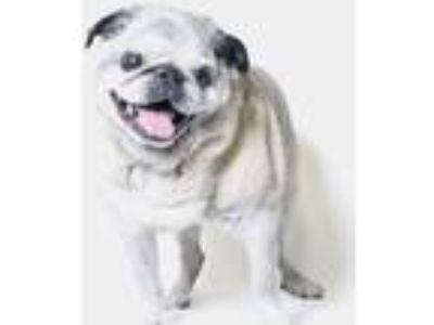 Adopt Milo a Pug / Mixed dog in Gardena, CA (20511976)