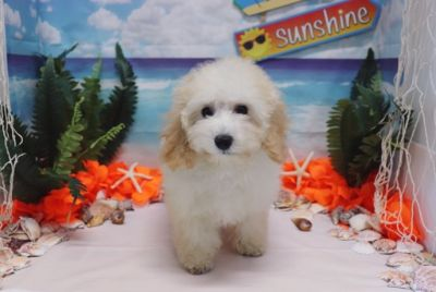 Poodle (Toy) PUPPY FOR SALE ADN-89957 - Poodle  Jasmine  Female