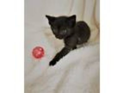 Adopt LAVERNE a Black (Mostly) Domestic Shorthair (short coat) cat in Iowa Park