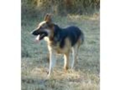 Adopt Bear a German Shepherd Dog