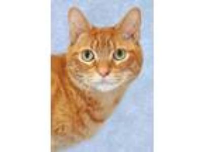 Adopt Quimby a Orange or Red Tabby Domestic Shorthair (short coat) cat in