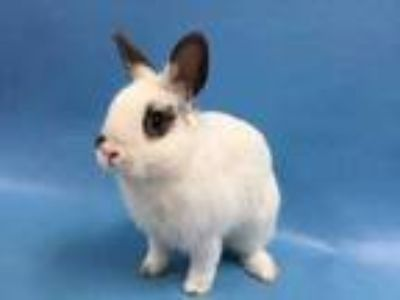 Adopt Seymour a Chocolate Netherland Dwarf / Mixed rabbit in St.