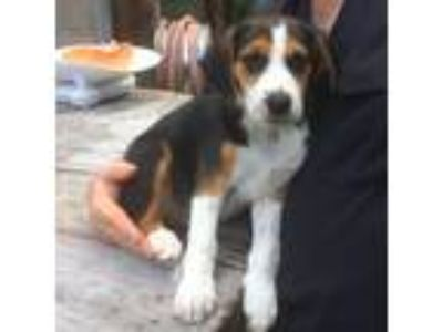Adopt PUPPY a Tricolor (Tan/Brown & Black & White) Hound (Unknown Type) / Mixed