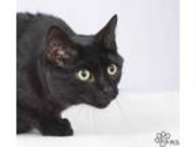 Adopt Alucard a All Black Domestic Shorthair / Domestic Shorthair / Mixed cat in