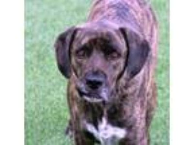 Adopt Lefty AKA Squiggy a Plott Hound, Mixed Breed
