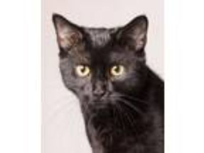 Adopt ONYX a Domestic Short Hair