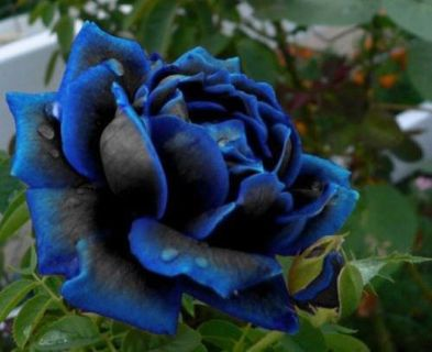 $5, FREE Midnight Rose Seeds With Every Order
