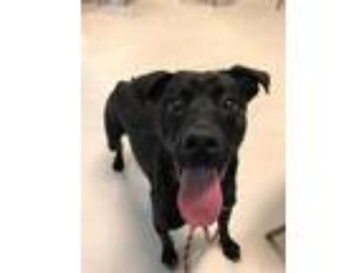 Adopt ROCKY a Black - with White Labrador Retriever / Mixed dog in Waterford