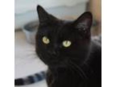 Adopt Angelica a All Black Domestic Shorthair (short coat) cat in Canyon
