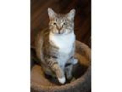 Adopt Muffin a Tan or Fawn Tabby Domestic Shorthair (short coat) cat in Boise