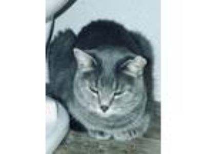 Adopt Lola a Gray or Blue Domestic Shorthair / Mixed cat in Grand Junction
