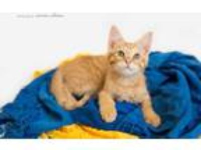 Adopt LOGAN a Domestic Short Hair