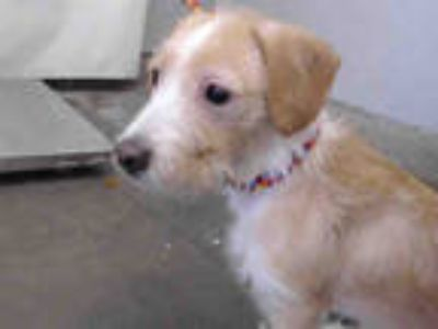 Adopt a Tan/Yellow/Fawn - with White Norfolk Terrier / Mixed dog in Camarillo