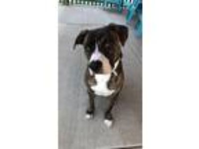 Adopt Ollie a Brindle - with White Pit Bull Terrier / Boxer / Mixed dog in