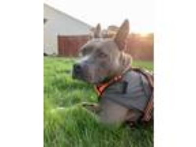 Adopt COLLEEN a Staffordshire Bull Terrier