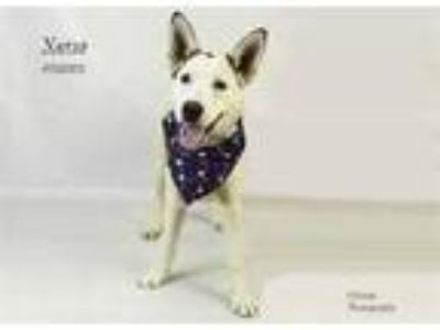 Adopt Dog a White - with Black Husky / Mixed dog in Thousand Palms
