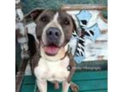 Adopt Costello a Mixed Breed